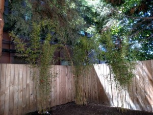 clumping bamboo planting in Portland