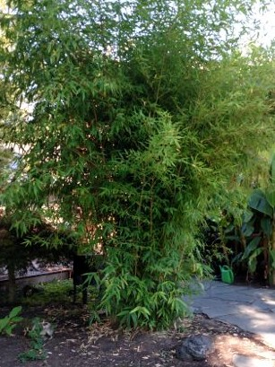an over-grown phyllostachys