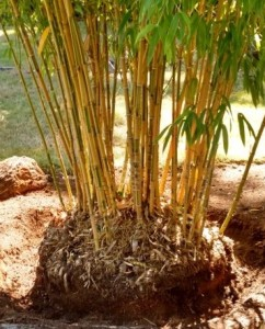 bamboo thinned and ready for maintenance