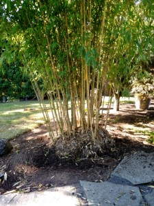 pruning and thinning bamboo